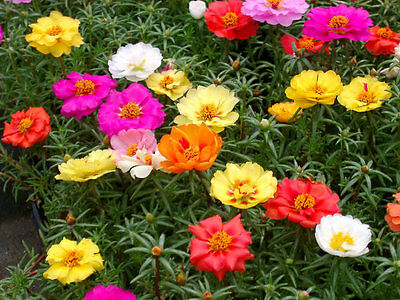 Portulaca Grandiflora - Moss Rose Double Mix (1000 Seeds)