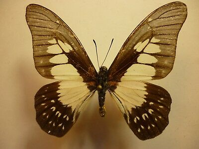 Real Dried Insect/Butterfly/Moth Non-Set.B3175 Graphium agemedes Africa