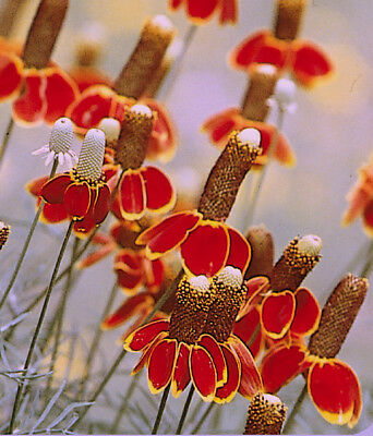 Mexican Hat Seeds, Heirloom Daisy Seeds, Non-Gmo Perennial Wildflower Seed 500ct