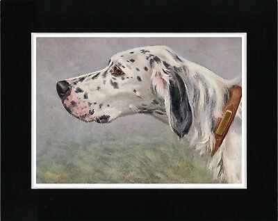 English Setter Great Head Study Vintage Style Dog Art Print Matted