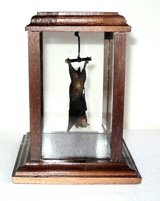 Taxidermy: Real hanging bat in a terrarium. Handmade!