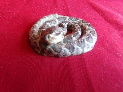 Real Western rattlesnake taxidermy mount tanned skin craft hide man cave stuffed
