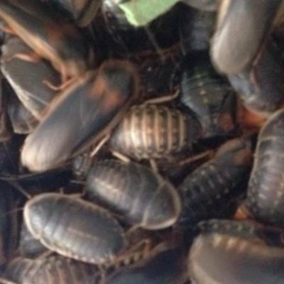 XL Dubia Cockroaches Roaches reptile lizard livefood cricket substitute