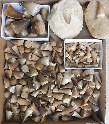Mosasaur Teeth Fossils from Morocco, Cretaceous Period