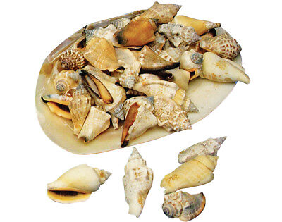 Spiral Pointed Shells in a Large Shell for Crafts   Craft Shells Beach Seaside