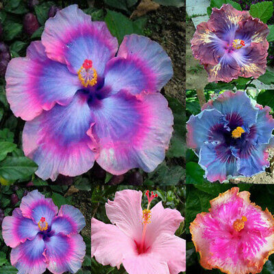 100Pcs Rare Rainbow Color Giant Hibiscus Seeds Potted Plant Flower Seed Divine