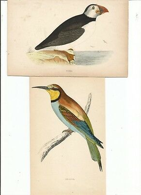 Antique, Hand -Colored , Puffin & Bee-Eater Bird prints. NICE.!!!