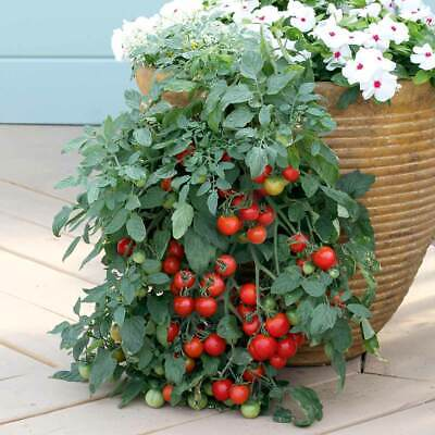 Tomato Tumbling Tom - Red (25 Seeds)