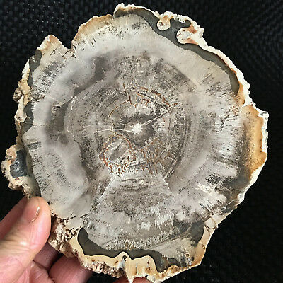 577g Beautiful Polished Petrified Wood Fossil Crystal Slice Madagascar y007