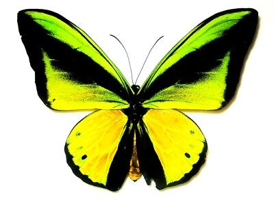 ORNITHOPTERA SCHOENBERGIA GOLIATH GOLIATH....male....Waigeo Is. Very Rare!