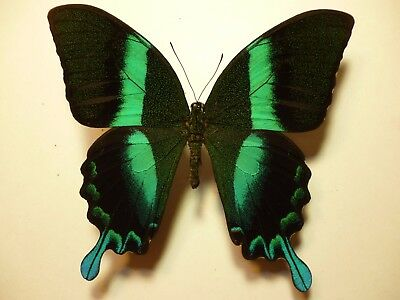 Real Dried Insect/Moth/Butterfly Non Set Blue/Green Papilio blumei