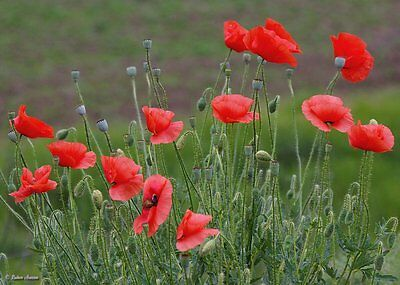 Field Red Poppy - 21000 Seeds - (Common,Corn) Papaver Rhoeas, Approx 3 grams