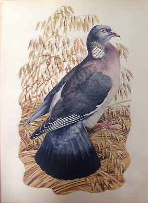 Wood Pigeon, 1947 Vintage Print By Tunnicliffe,  Beautiful Birds