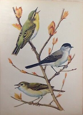 Wood & Willow-Warbler & Blackcap,  1947 Vintage Print By Tunnicliffe, Birds