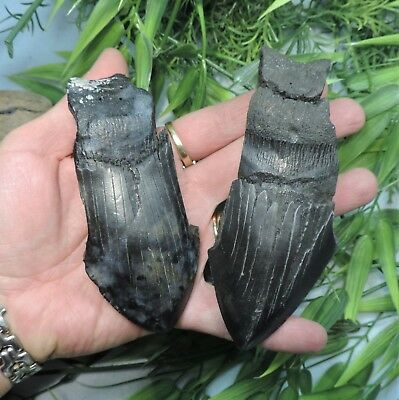 Lot Of 2 Partial Megalodon Shark Teeth/ Fossil Sharks Teeth Tooth