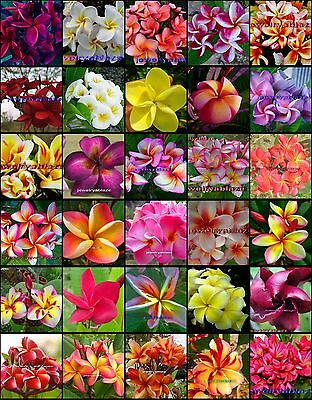 "Plumeria/Frangipani/Flowers/Plants/""Mixed 30 Types""/ 50 seeds"