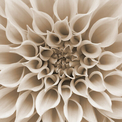 Photography Canvas Prints Wall Art Square Dahlia Delight (square)