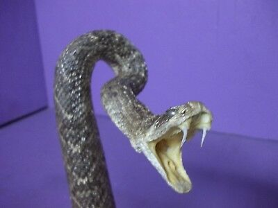 Real Western rattlesnake taxidermy mount stuffed tanned skin hide man cave craft