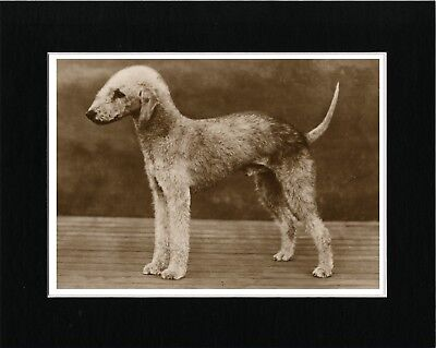 Bedlington Terrier Sepia Vintage Style Art Print Matted Ready To Frame