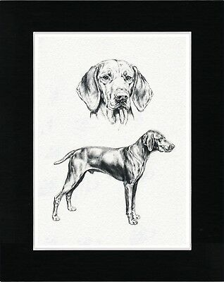 Hungarian Vizsla Lovely Dog Sketch Print Matted Ready To Frame