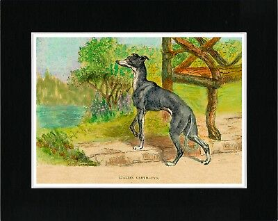 Italian Greyhound In A Garden Setting Vintage Style Dog Print Ready Matted