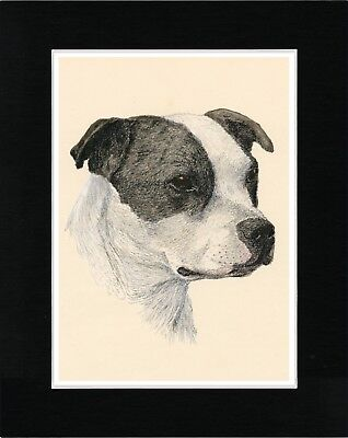 Staffordshire Bull Terrier Head  Study Vintage Style Dog Print Ready Matted