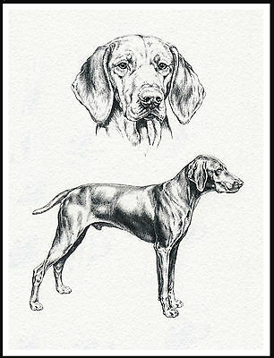 Hungarian Vizsla Lovely Dog Art Sketch Print Poster