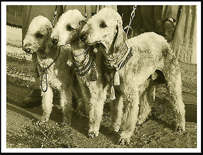 Bedlington Terrier Three Dogs Lovely Vintage Style Dog Print Poster