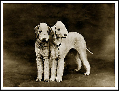 Bedlington Terrier Two Dogs Lovely Vintage Style Dog Print Poster