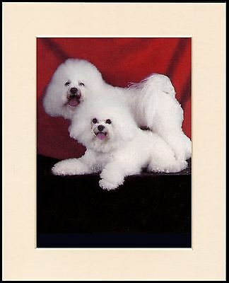 Bichon Frise Two Little Dogs Lovely Dog Print Mounted Ready To Frame