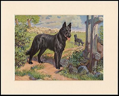 Belgian Shepherd Working Dogs Lovely Dog Print Mounted Ready To Frame
