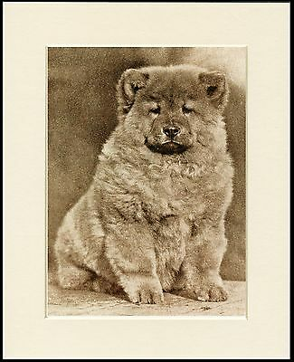 Chow Chow Cute Puppy Charming Sepia Dog Print Mounted Ready To Frame