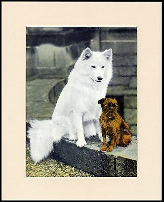 Brussels Griffon And Samoyed Vintage Style Dog Print Mounted Ready To Frame