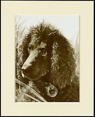 Irish Water Spaniel Lovely Sepia Dog Head Study Print Mounted Ready To Frame
