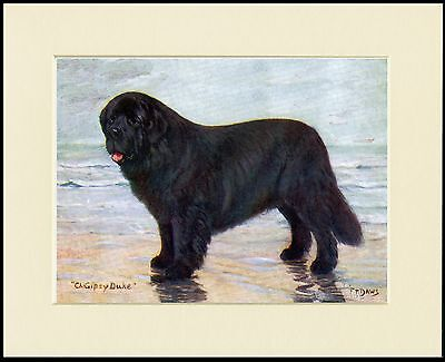 Newfoundland Named Champion Dog Lovely Print Mounted Ready To Frame
