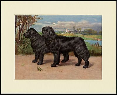 Newfoundland Dogs Lovely Dog Print Mounted Ready To Frame