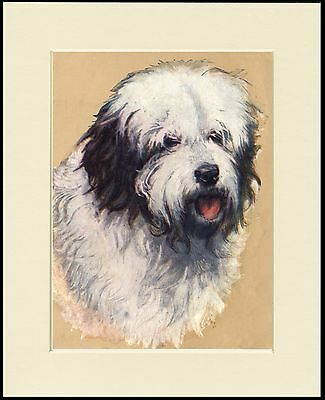 Old English Sheepdog Lovely Head Study Dog Print Mounted Ready To Frame