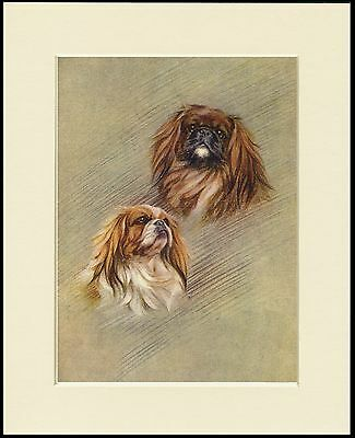 Pekingese Head Study Two Dogs Lovely Dog Print Mounted Ready To Frame