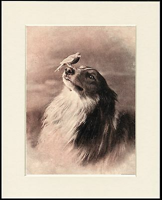 Rough Collie With Canary Sat On His Nose Lovely Dog Print Mounted Ready To Frame