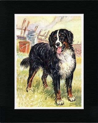 Bernese Mountain Dog Lovely Old Style Art Print Matted Ready To Frame