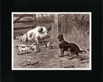 Border Collie Mother Pig And Piglets Lovely Old Style Dog Art Print Ready Matted