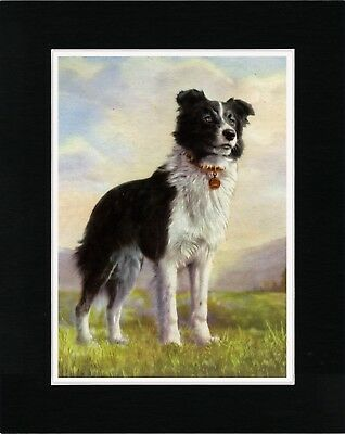 Standing Border Collie Lovely Old Style Dog Art Print Ready Matted