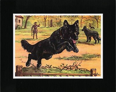 Belgian Shepherd Police Dog In Training Old Style Dog Art Print Ready Matted