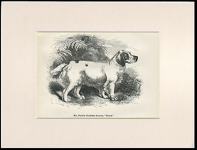 Clumber Spaniel Rare Antique 1878 Named Dog Print Engraving Ready Mounted