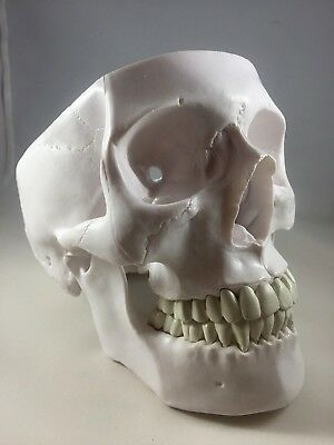 Anatomically Accurate Human Skull Learning Model BEST PRICE!
