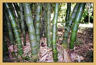 5 Giant Buddha Belly Bamboo Plants. Ornamental clumping bamboo