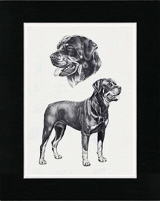 Rottweiler Lovely Dog Art Sketch Print Matted Ready To Frame