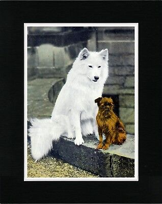 Samoyed And Brussels Griffon Charming Vintage Style Dog Print Ready Matted