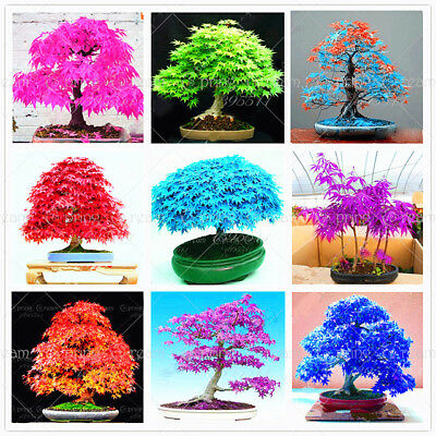 20 pcs/bag mixed japanese maple seeds toronto maple leafs tree seeds Perennial