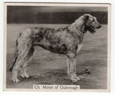 Vintage 1938 Champion Dogs Card of Irish Wolfhound Moran of Ouborough